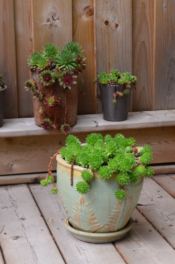 Containers of succulents lend garden ideas for a small garden