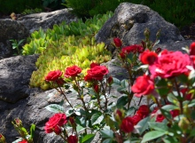 Bright green succulents and red roses contrast in a rock garden.