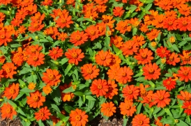 Bright red zinnias in a tightly planted bed.