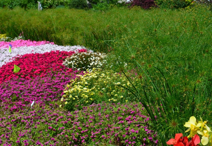 Egyptian papyrus grass and bright annuals in a long flower bed.
