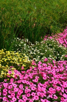 Yellow and pink flowers are bordered by tall ornamental grasses in a lush flower bed.