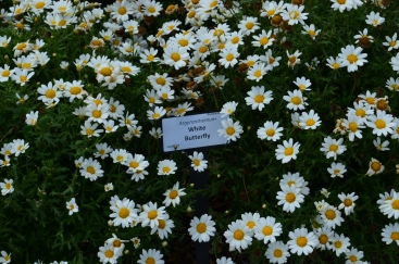 White Butterfly Argyranthemum (also a non-native) from Proven Winners came in second place in the native honey bee vote for most popular flower.