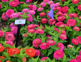 Bright pink zinnias in a trial garden bed.