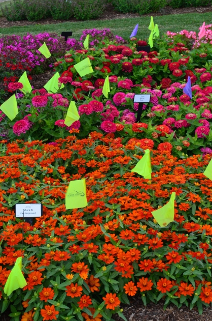 Bright zinnas are winners in the trial gardens for Landscape Ontario.