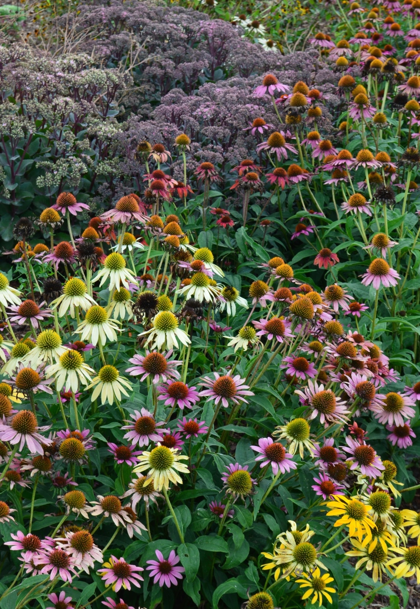 A flower bed filled with echinaceas and sedum.