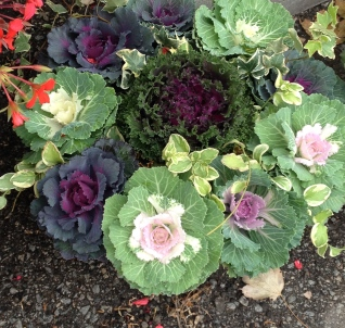 A container planting of ornamental cabbages.