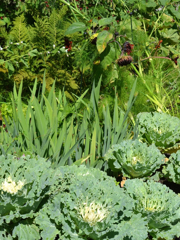 Ornamental cabbages fill out a flower bed in fall.