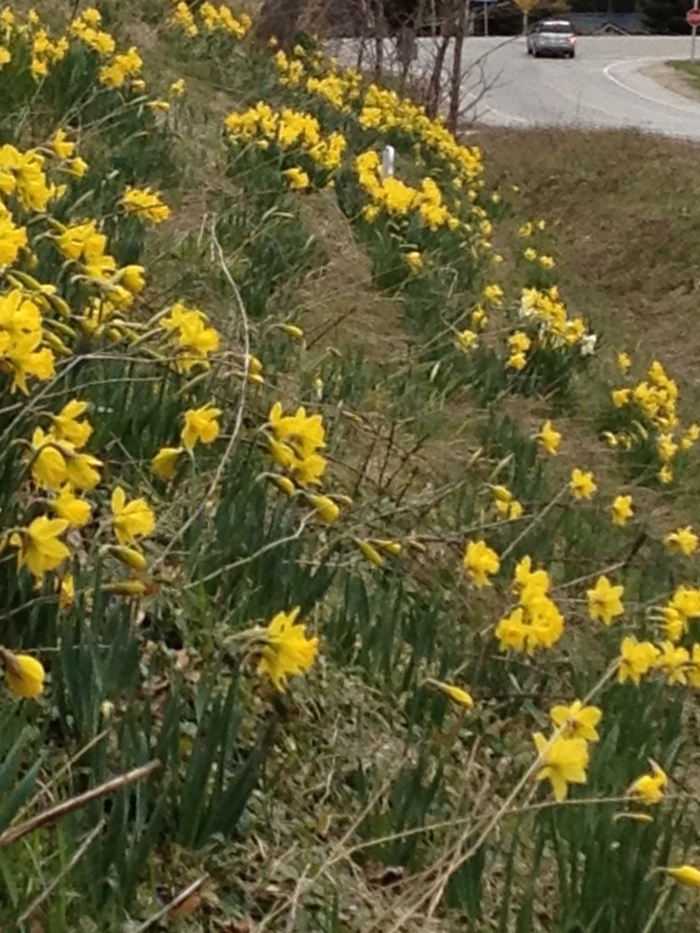Daffodils planted on a hillside to commemorate a young cancer victim.