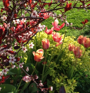 Tulips planted in fall for good spring colour.