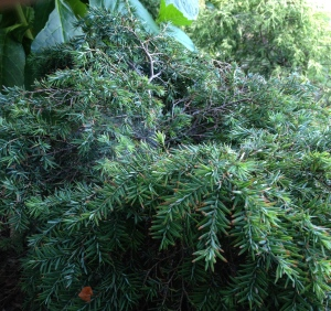 The distinctive shape of a dwarf Eastern Hemlock