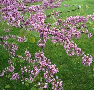 A redbud covered in buds that help bees.