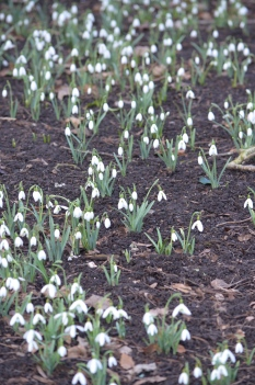 Snowdrops are good fall planting bulbs.