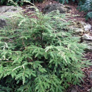 A small Eastern Hemlock in a rock garden setting.