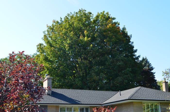 A large maple tree looms over a suburban home creating inspiration for garden design.