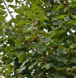Close-up of leaves and branches of Norway Maple trees.