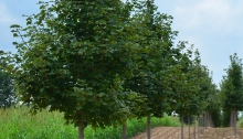 Norway maples trees in a nursery.