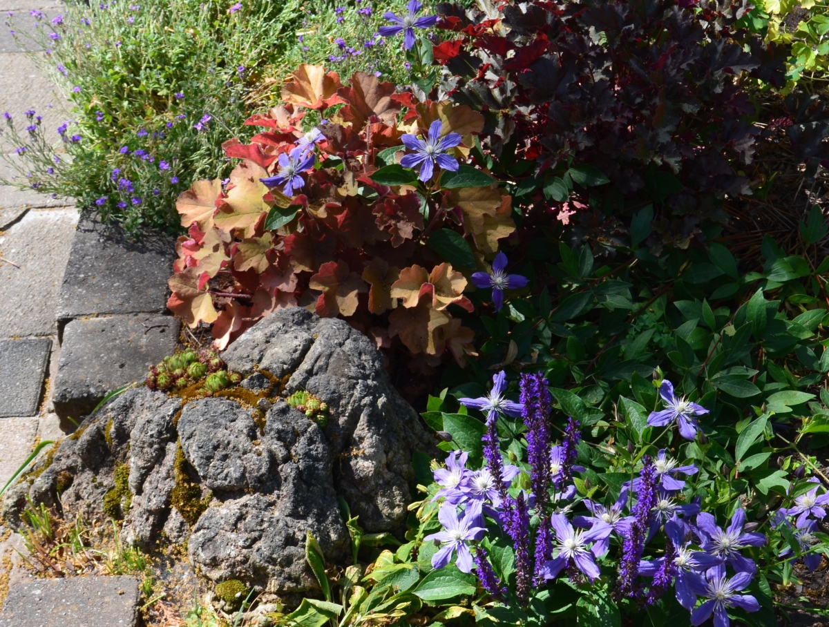 Ministry Of The Fence Clematis As Ground Cover