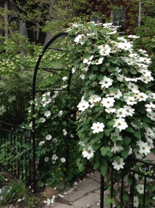 A white clematis in bloom trained over a metal arch.