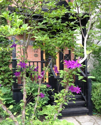 A bright purple clematis grows up a slender, multi-stemmed tree.