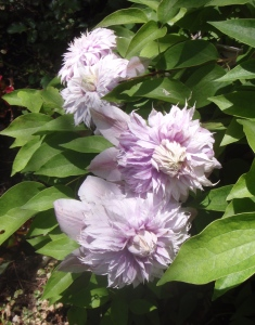 A double bloom clematis