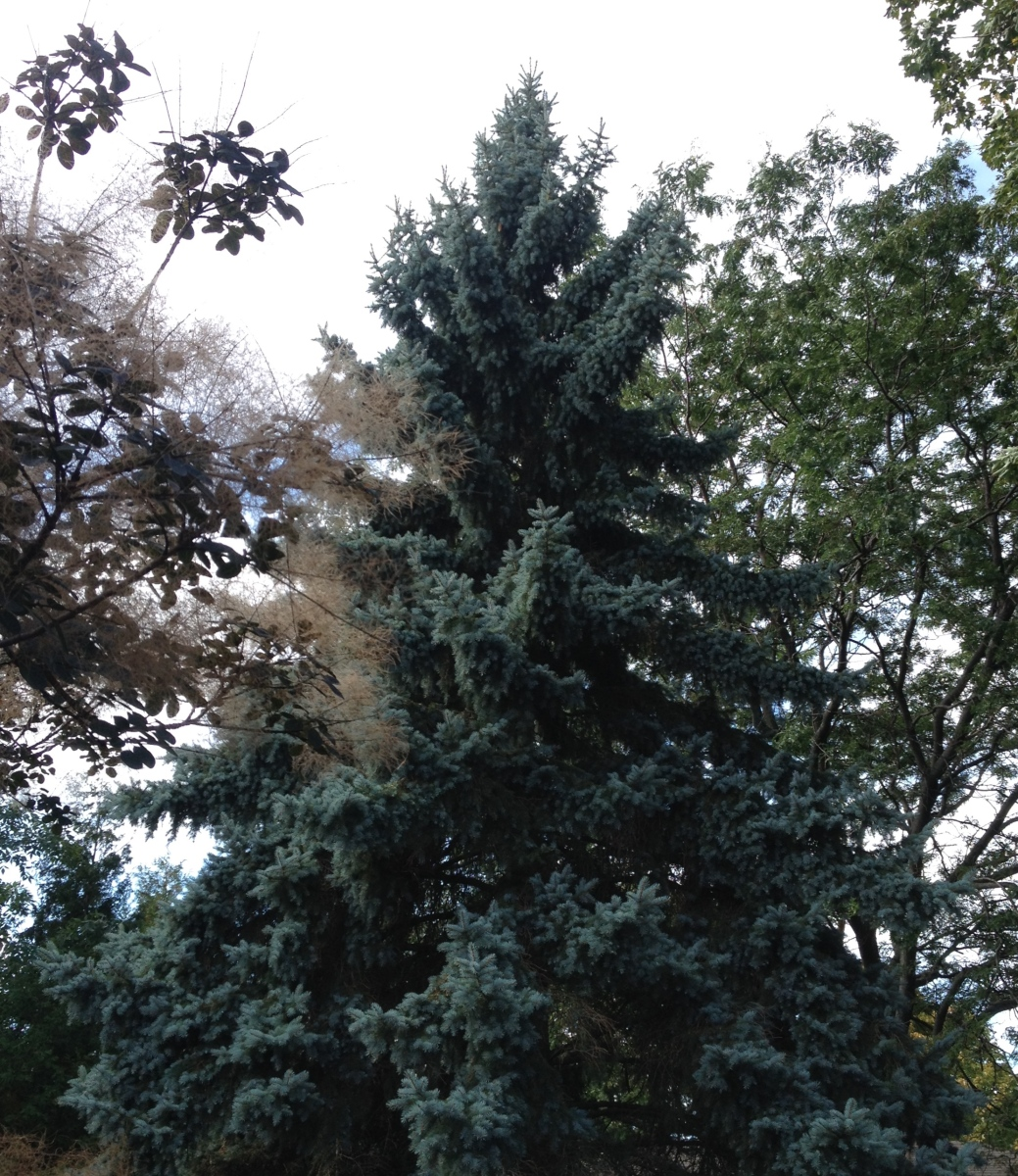 A towering Colorado Spruce showing its distinctive colouring