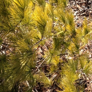 An evergreen tree with golden needles.
