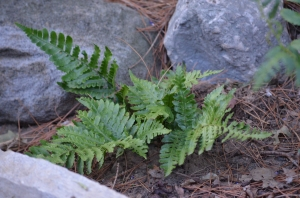 A leafy Christmas fern surrounded by rocks.