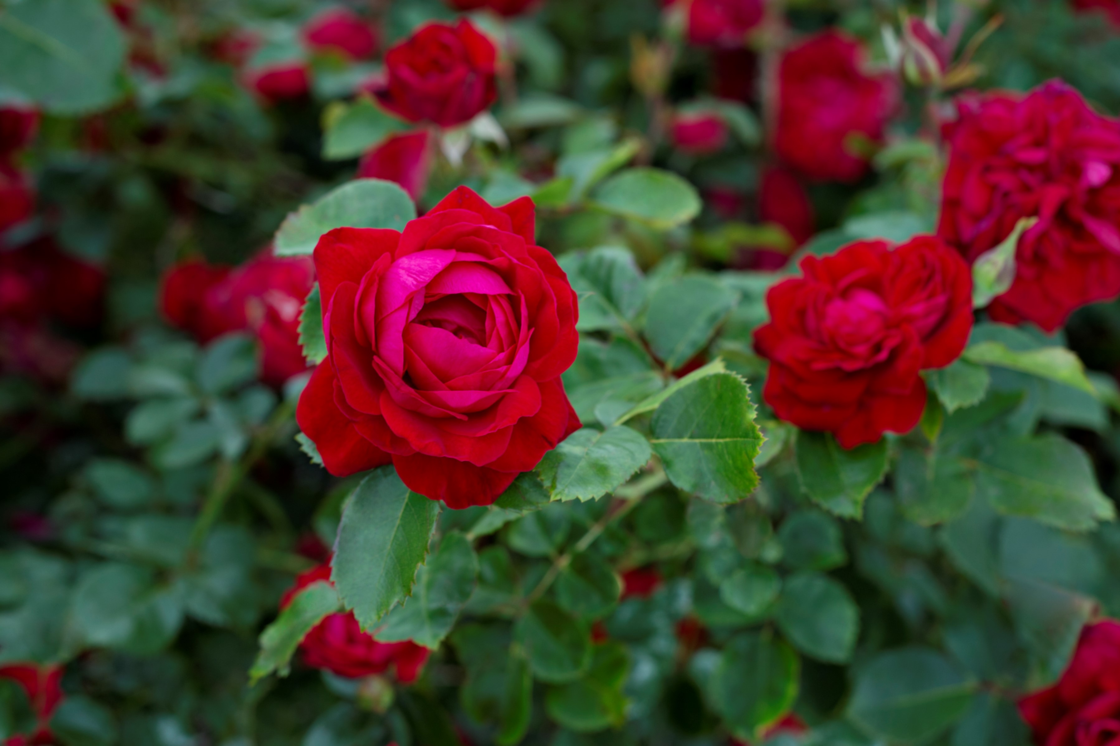 ministry of the fence celebrate canada with a brilliantly hardy rose