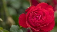 The new Canadian Shield rose is a brilliant red hardy landscape rose.