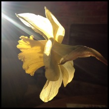 A daffodil is lit up by a sunbeam.