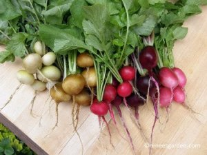A colourful array of radishes grown from seed from Renee's Garden.