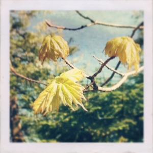 Young maple leaves in springtime.