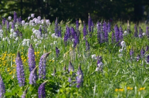 A field of Lupines and other wildflowers.