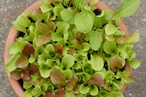 A mix of small lettuces grown from West Coast Seeds.