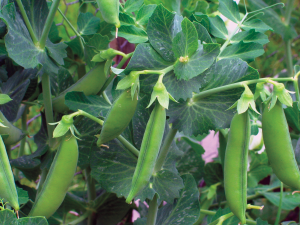 Pea pods ripe for harvesting from West Coast Seeds Ltd.