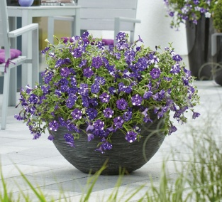 Night Sky Petunia in a container planting.