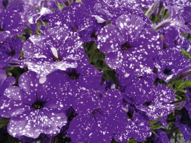 Close-up of Petunia Night Sky.