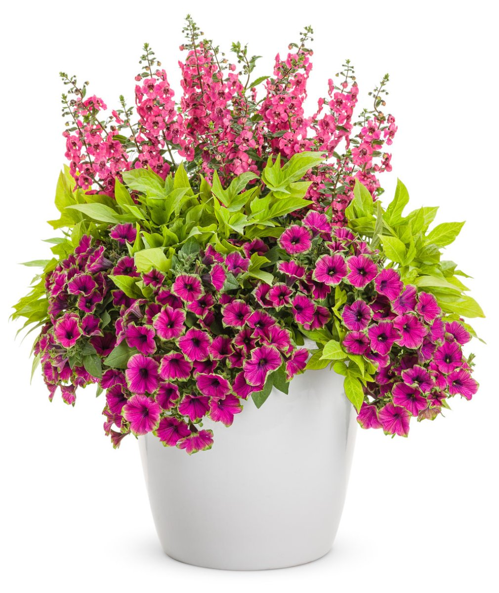 Supertunia Picasso in Purple in a mixed container planting.