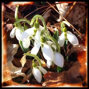 Snowdrops in the spring garden.