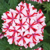 Lanai Candy Cane Verbena hybrid, a red and white verbena hybrid from Proven Winners.