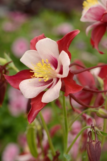 A close-up of Aquilegia Swan Red and White
