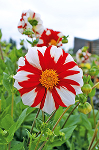 Dahlia 'Fire and Ice' is red and white, perfect for Canada 150.