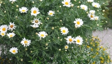 A container planting includes daisies.