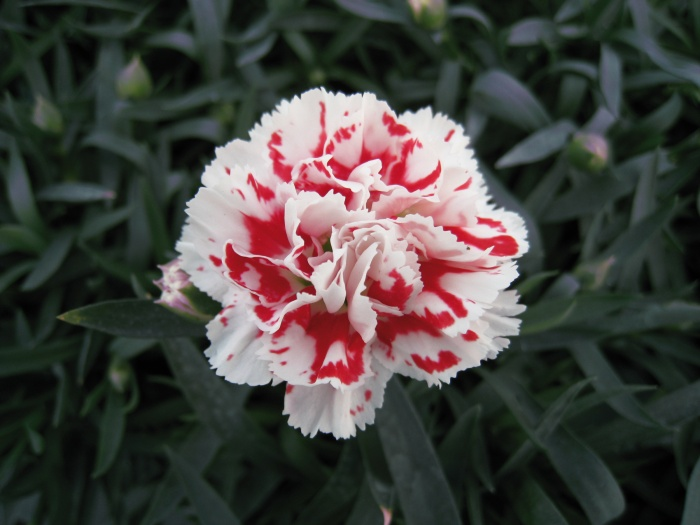 SuperTrouper™ Red and White Dianthus (Pot Carnation). Photo courtesy of Ball Horticultural Company.