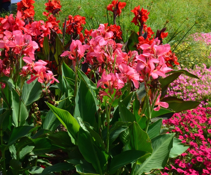 A large grouping of cannas planted in a deep border.