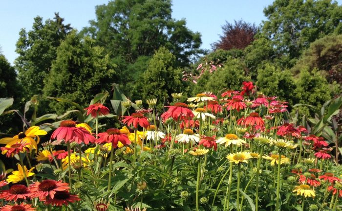 Flowering Echinacea with trees in the background show good gardening to combat climate change.