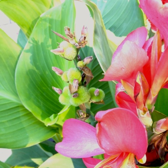 Flowers and seed heads of a canna.