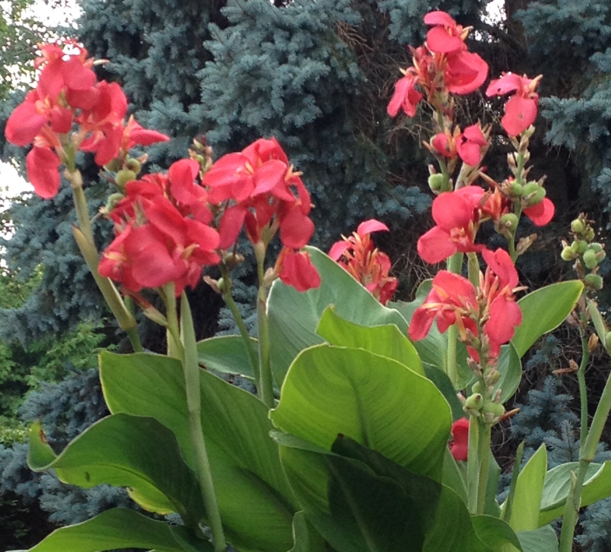 Spikes of canna blooms.