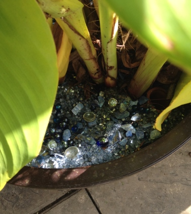 A canna plant in a container with blue glass mulch.