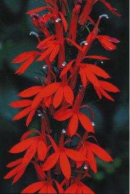 Cardinal flower, a Canadian native plant with brilliant red flowers.